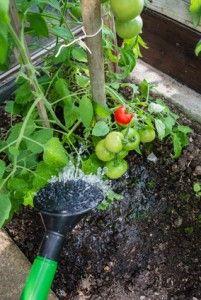 Gesät  Tomaten werden meist im Februar oder März gesät und ab Mai ...