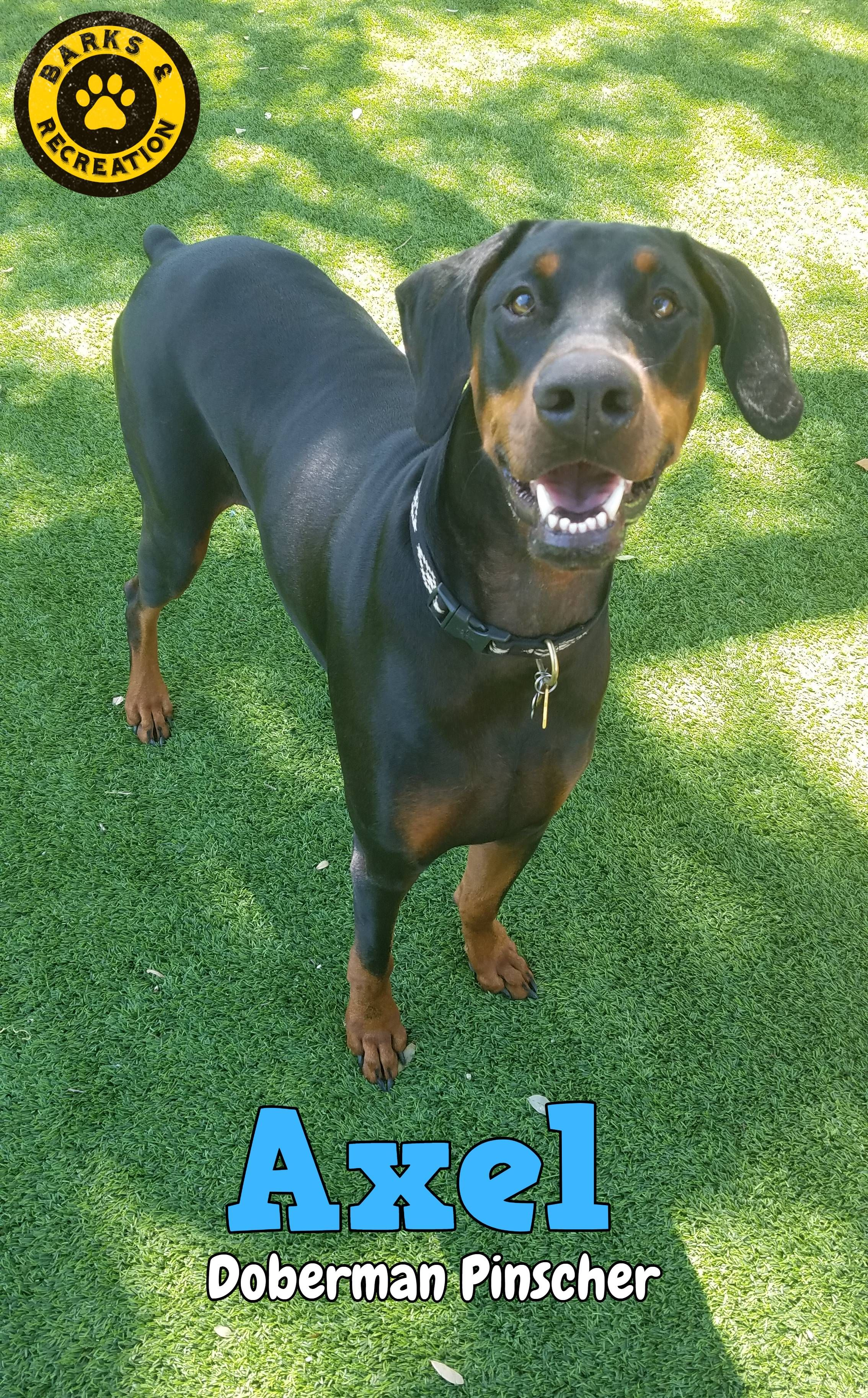 Axel A Doberman Pinscher At Barks Recreation In Seminole Fl