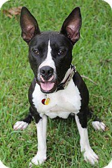 Atlanta Ga Bull Terrier American Staffordshire Terrier Mix