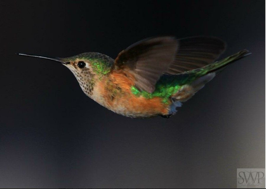 Beautiful Hummingbird from Scott Wright Photography. See Scott's page for more great photos! http://www.facebook.com/Life.Illuminated