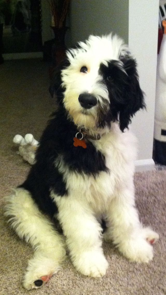 Sheepadoodles Feathers and fleece | My Dogs | Dogs, Cute dogs