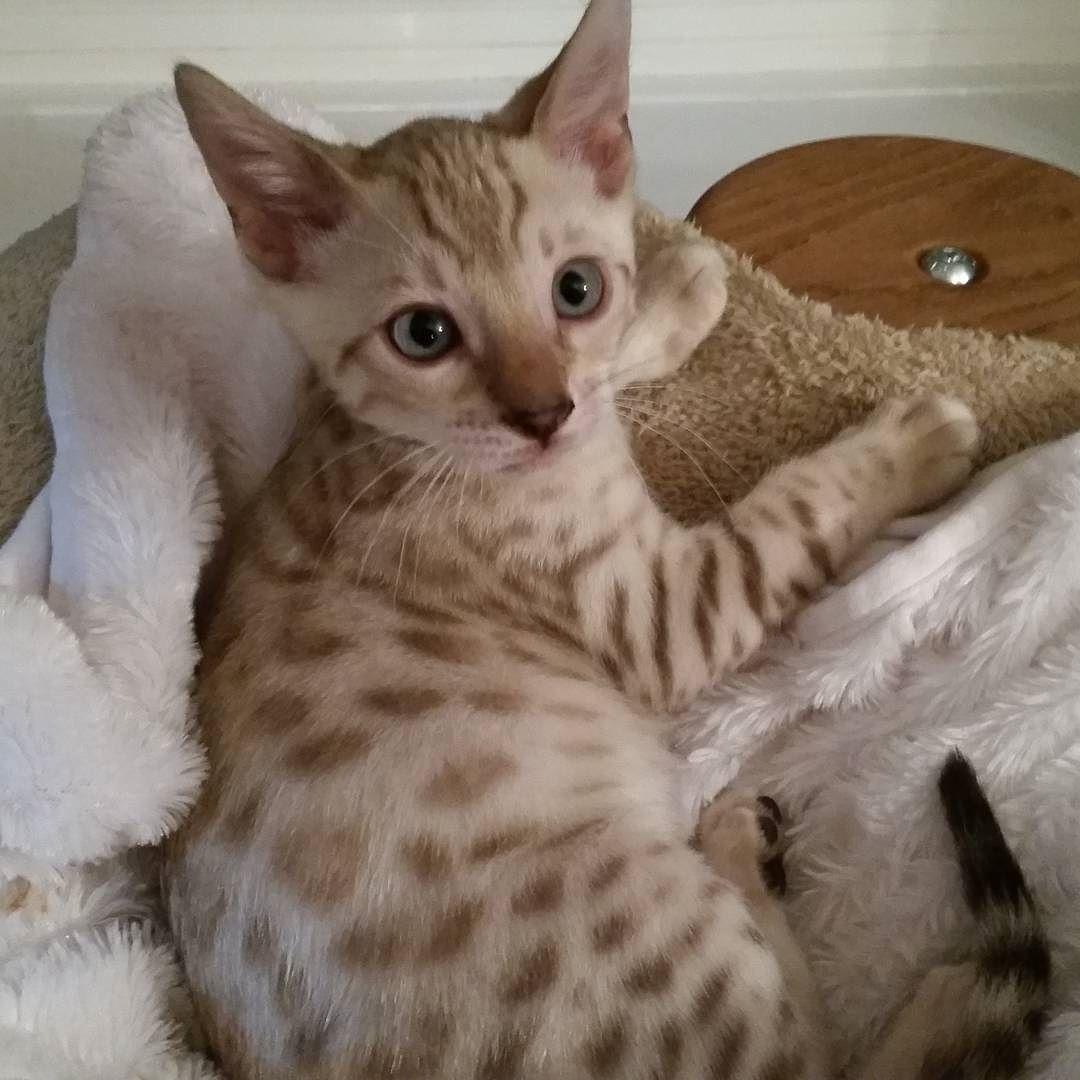 Baby boy Blue cute cutekittens bengalcatworld bengal