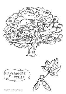Sycamore Tree Colouring Page Coloring Pages Tree