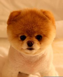 Boo Dog Wikipedia The Free Encyclopedia Cute Dogs Breeds