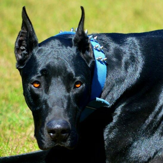 Great Dane Dog Breed Information Doberman Mix Unique Dog Breeds