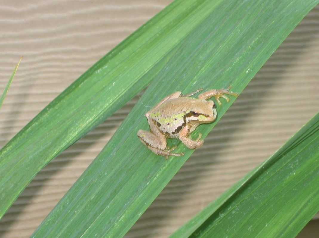 Tree frog found when doing my yard work. Just hangin out on a leaf