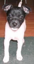 Bella: Chihuahua, Dog; Bisbee, AZ