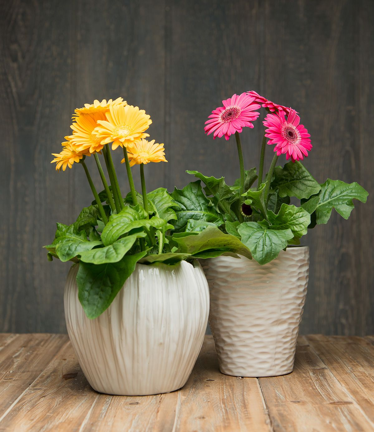 Gerbera Daisies Are Like Little Pots Of Sunshine They Come In