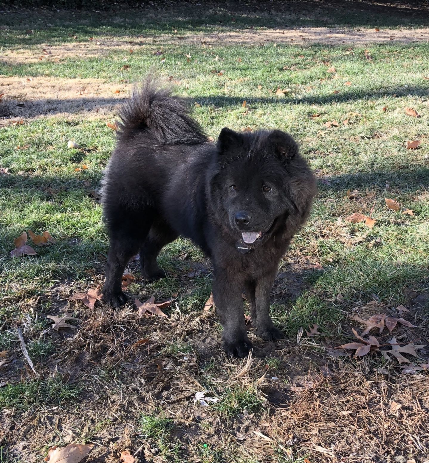 Adopt Blackberry On Pet Search Chow Chow Dogs Pet Adoption