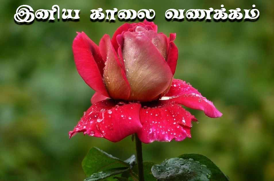 Tamil Good Morning Rose Images Good Morning Rose Images Good Morning Roses Beautiful Rose Flowers
