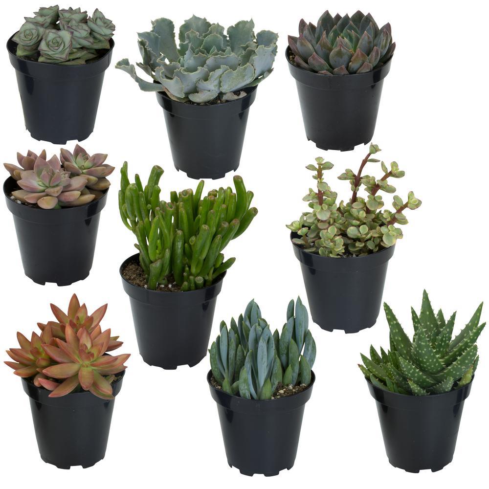 Altman Plants 9cm Succulent Collection 9 Pack 0883239 The Home Depot Plants Succulents Succulent Gardening