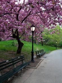 Kwanzan Cherry Tree Flowering Cherry Tree Cherry Tree Fast Growing Trees