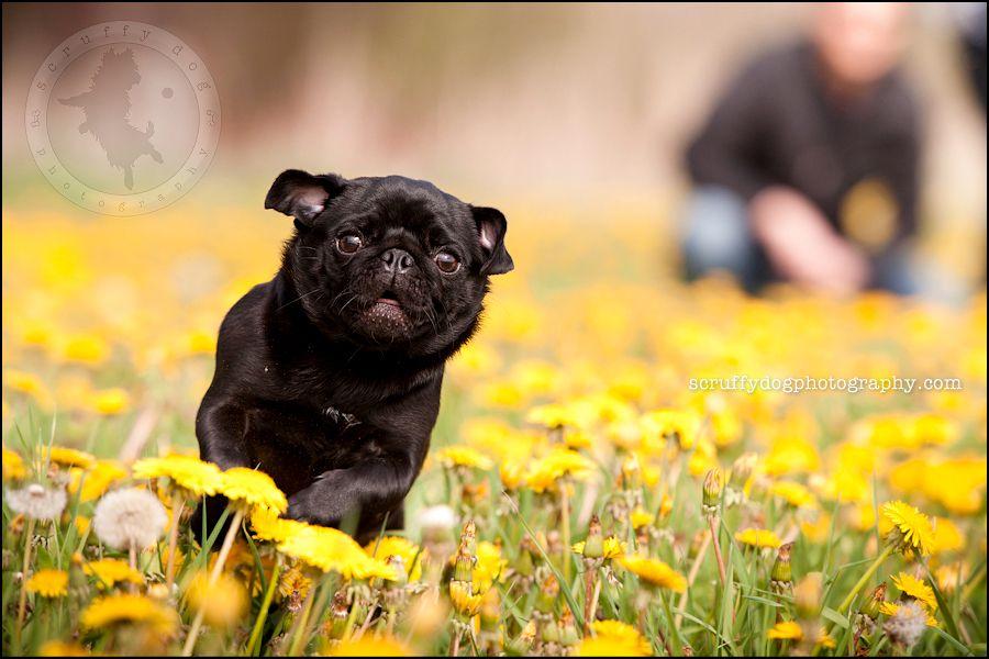 Toronto Pet Photographer Black Pug Photo Fushi Petricca 120