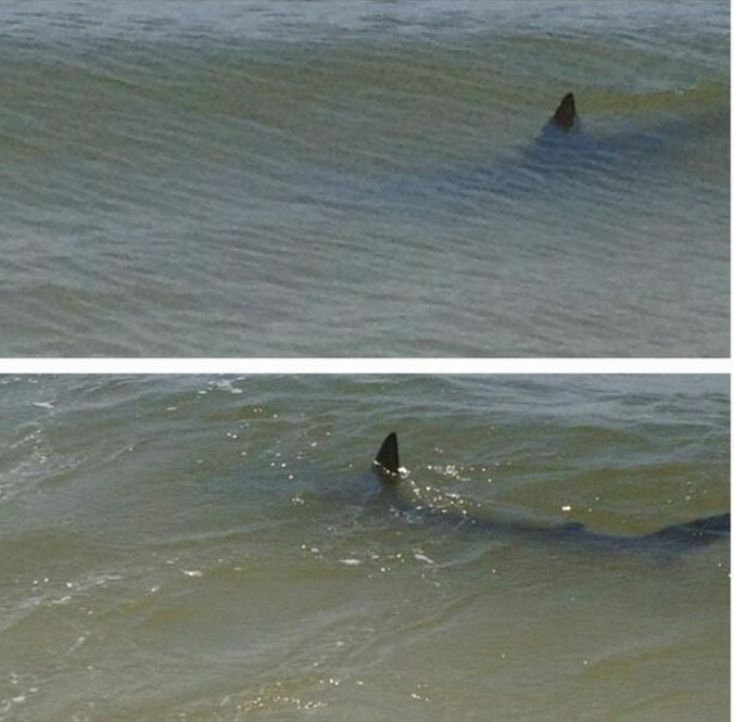 cf17334e4906 Sharks in the surf at Gulf Shores