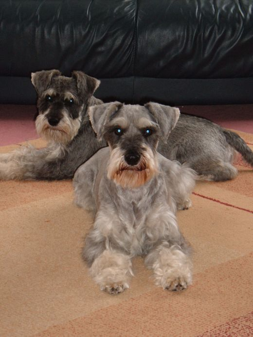 Tips And Advice On Owning A Miniature Schnauzer Miniature Schnauzer Schnauzer Schnauzer Grooming