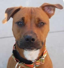 Petey From The Humane Society Of Silicon Valley In Milpitas Ca Humane Society Animals Dogs