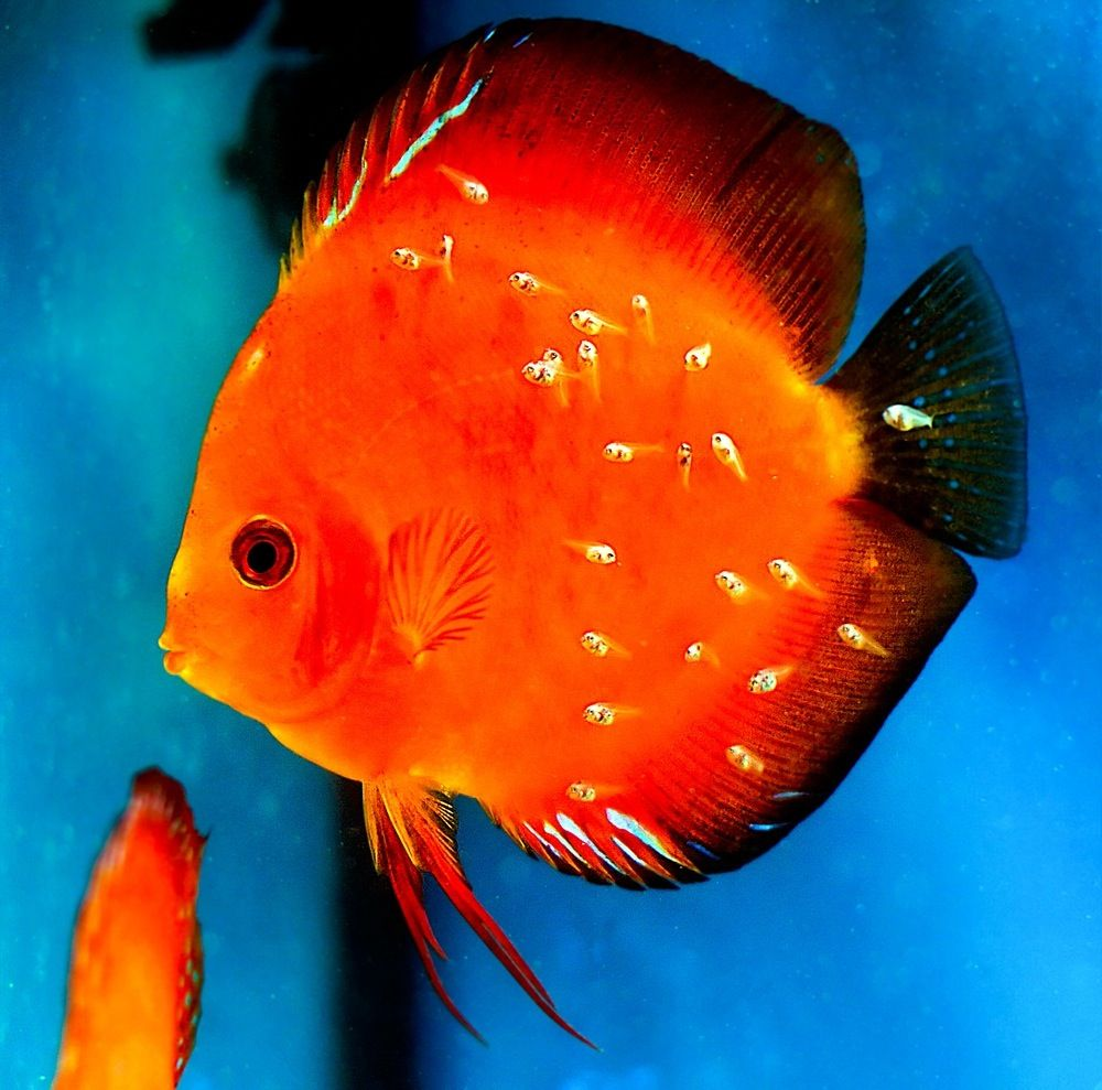 Marlboro red discus and young aquariums and fish for Discus fish types