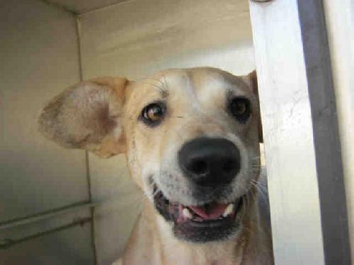 Dog Finder Adopt A Dog Or Cat Near You Italian Greyhound Dog