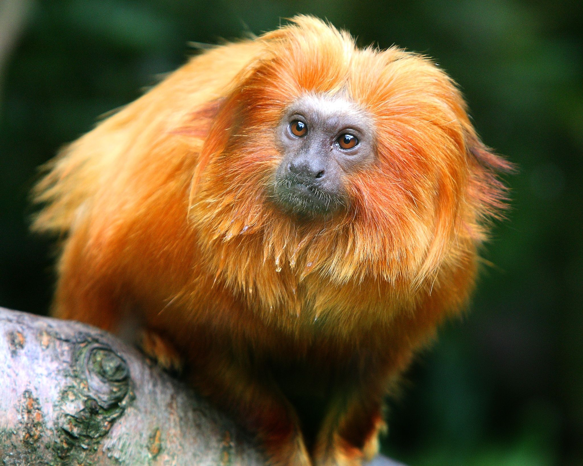 golden lion tamarin reintroduction program essay Golden lion tamarin reintroduction program biodiversity may be our most valuable present on this planet it is amazing to think about how exactly much we among the even more promising can be the golden lion tamarin reintroduction system leontopithecus rosalia, common name fantastic lion.