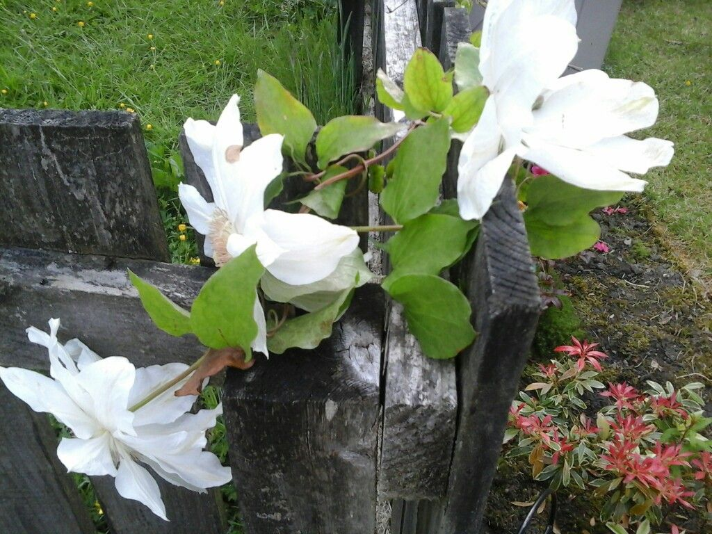 White clematis gardens and flowers pinterest clematis