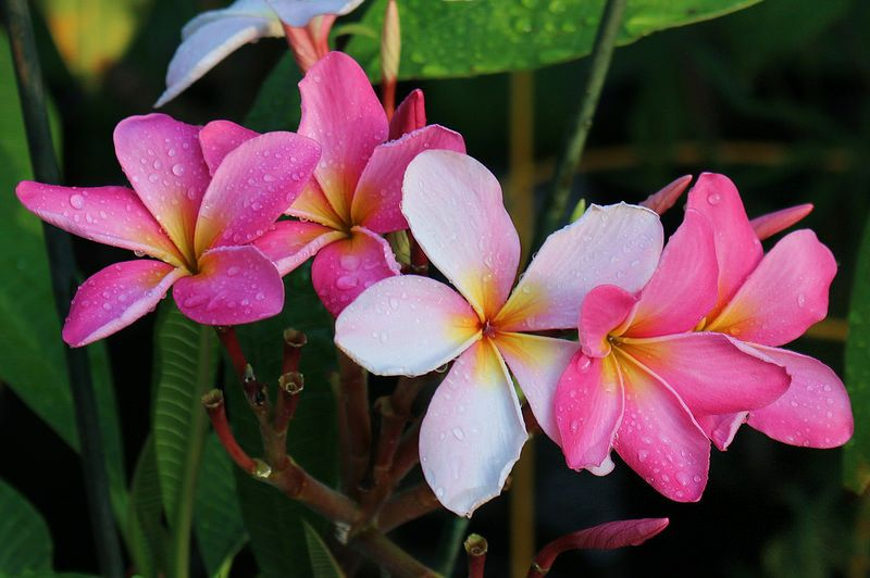 Cancun Pink Plumeria with Deep Color!