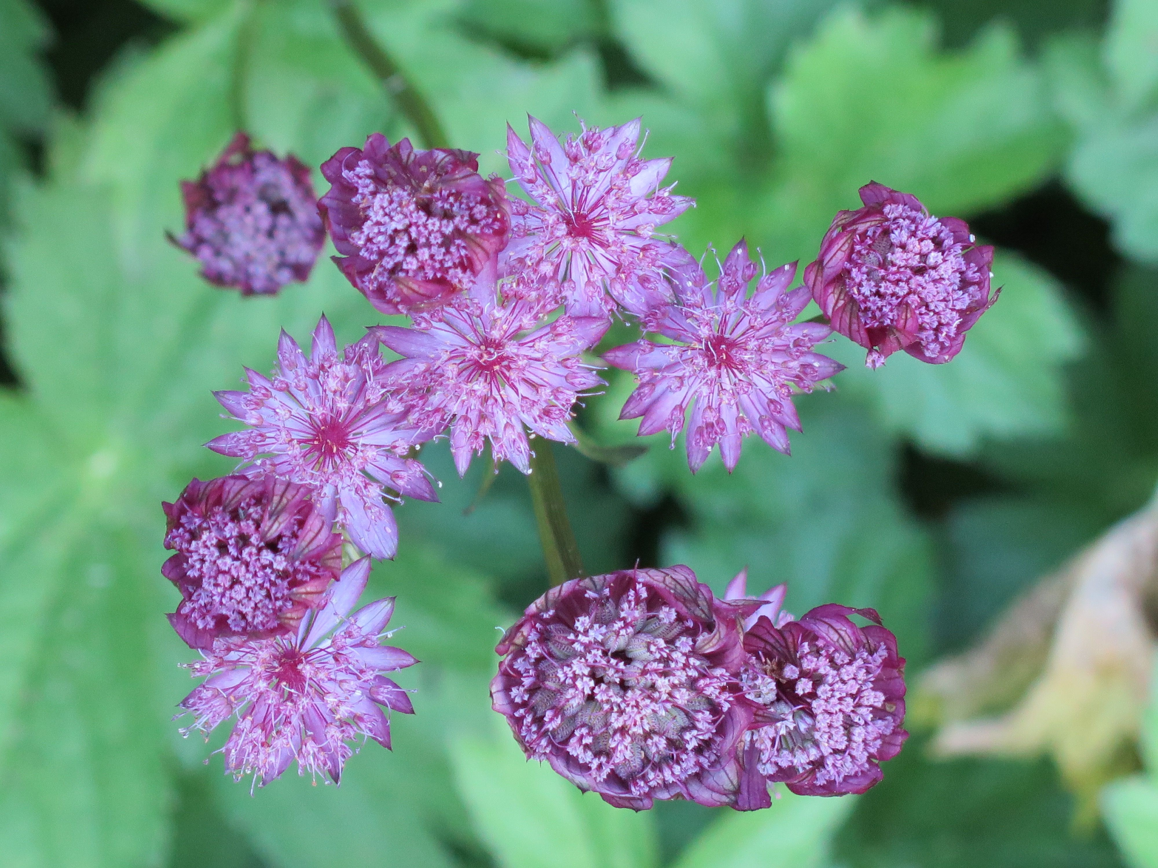 Love These Pink Flowers In A Coastal Maine Garden Garden Flowers