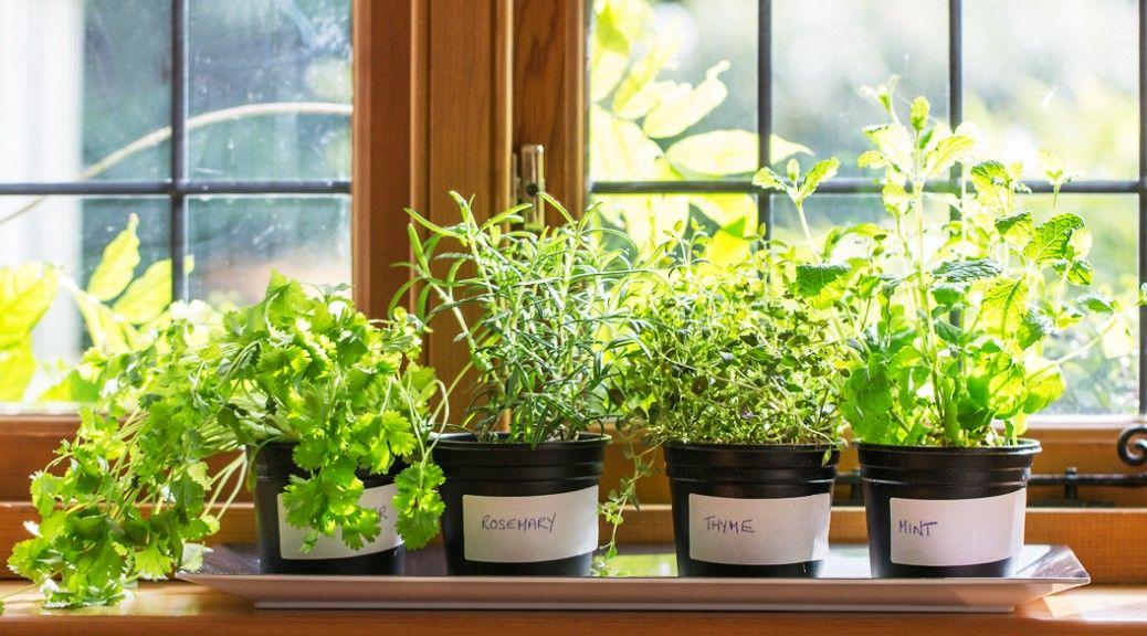 蚊よけに効く 6種類のハーブ を知っていますか 虫除け 植物