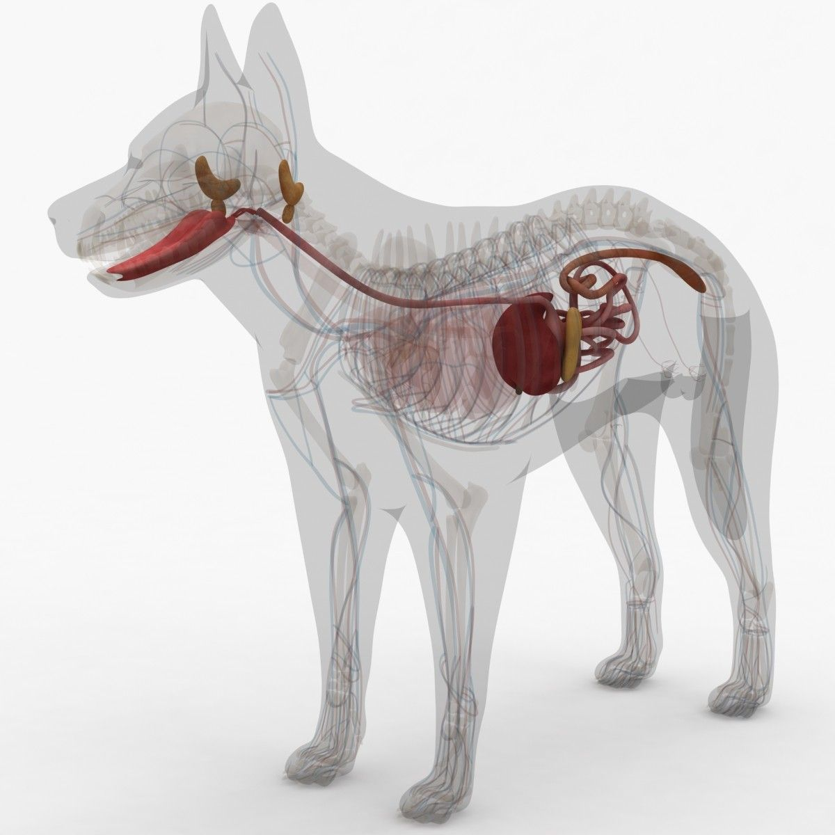 3d Model Dugm01 Dog Anatomy Male Female Veterinary Pinterest