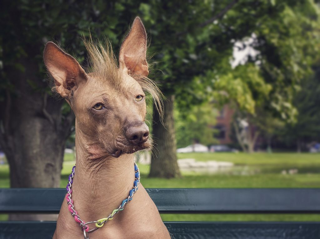 Xoloitzcuintli Dog Breed Information, Pictures