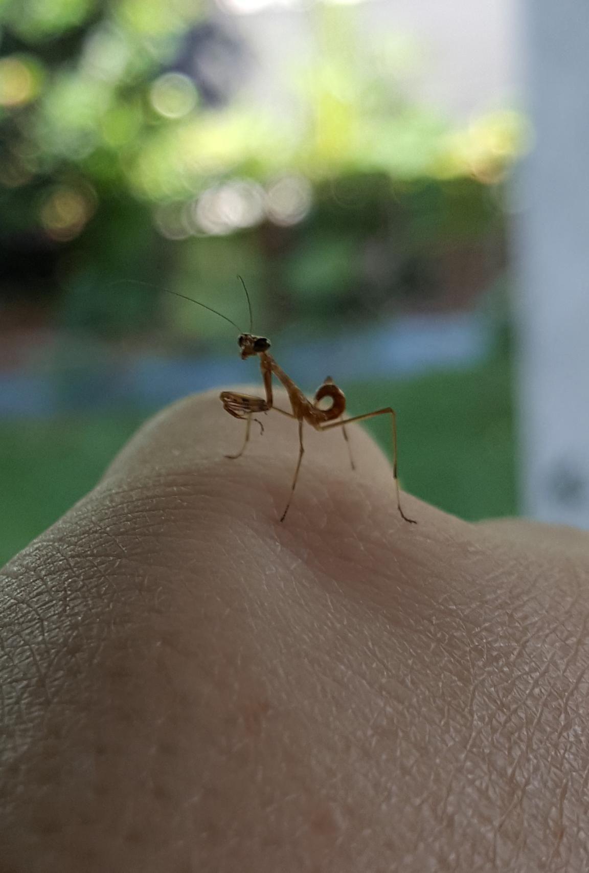cute praying mantis baby