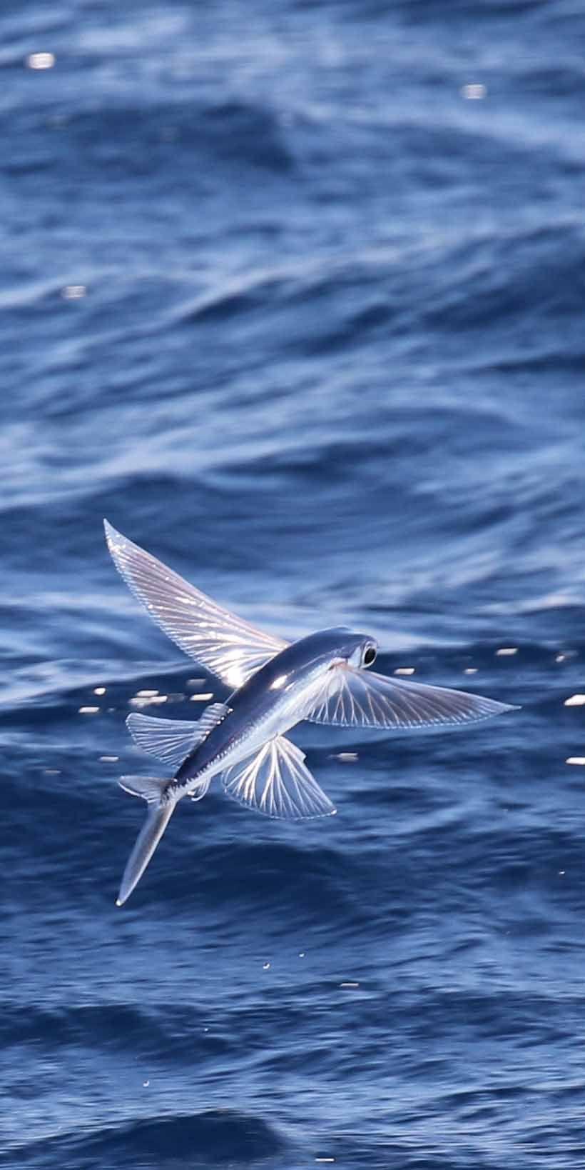 Flying Fish In The Bahamas Near Oldbahamabay Photo By Davidabernathy Naturepics Sea Animals Ocean Creatures Ocean Life
