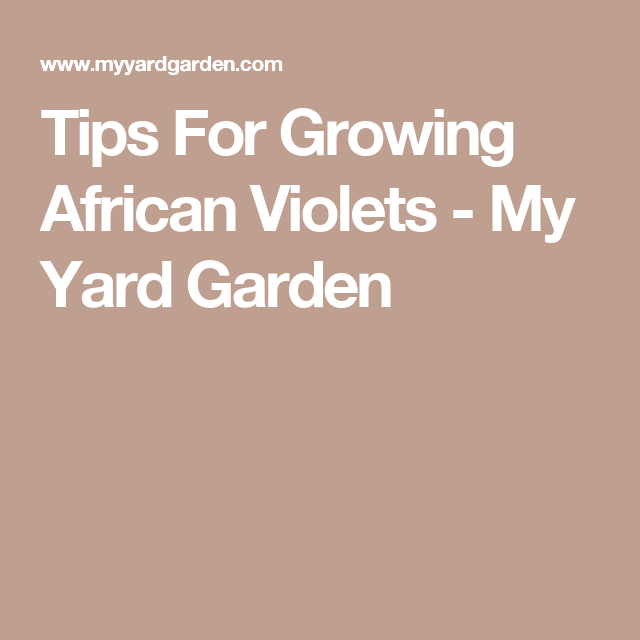 Tips For Growing African Violets - My Yard Garden