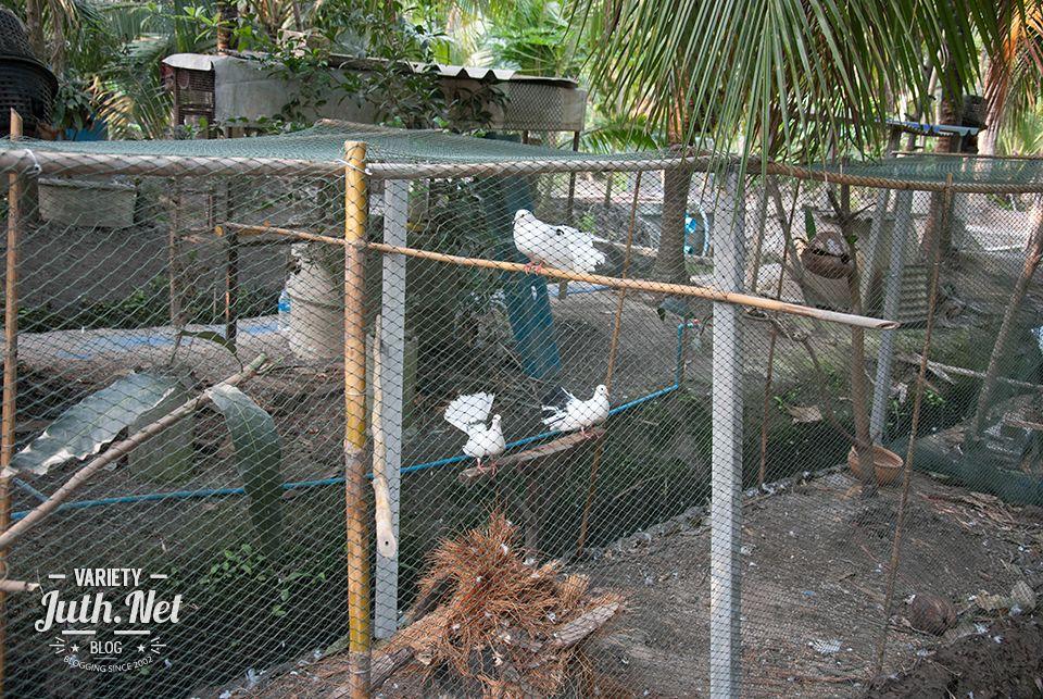 เล ยงนกพ ราบรำแพน สามารถขายได ต วละ 300 บาท