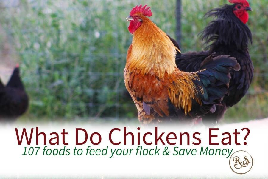 What Do Chickens Eat Animals Chicken Eating Building A Chicken