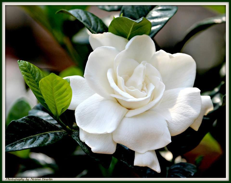 Gardenia With Images Flower Landscape Fragrant Garden Beautiful Flowers