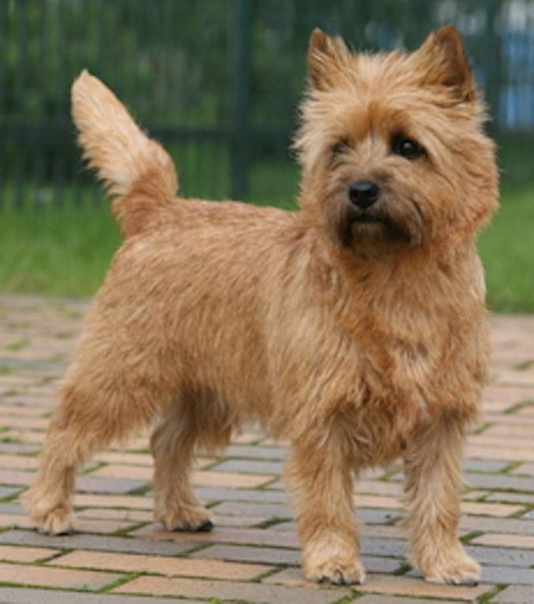 Cairn Terrier Dog Breed Information And Images K9rl Cairn