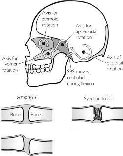 Image Result For Synchondrosis Of The Cranial Base Ł¥ In this example, the rib articulates with the manubrium via the costal cartilage. synchondrosis of the cranial base