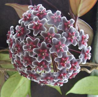 Pubicalyx chimera hoya this is the most amazing flowering for Hoya para cocinar