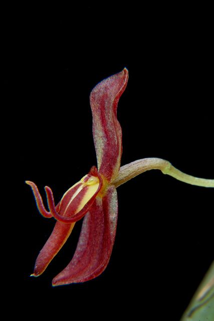 Orchid: Acronia mastodon - Flickr - Photo Sharing!