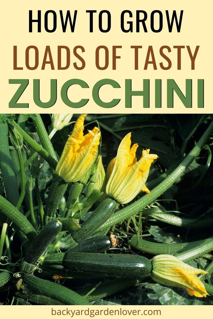 How To Grow Zucchini (Courgette) And Enjoy It All Summer Long is part of Veggie garden, Growing zucchini, Garden veggies, Veg garden, Food garden, Zucchini plants - Find out how to grow zucchini for a prolific harvest  Learn how to grow it vertically, in pots, and how to avoid pests  Then enjoy it all summer long