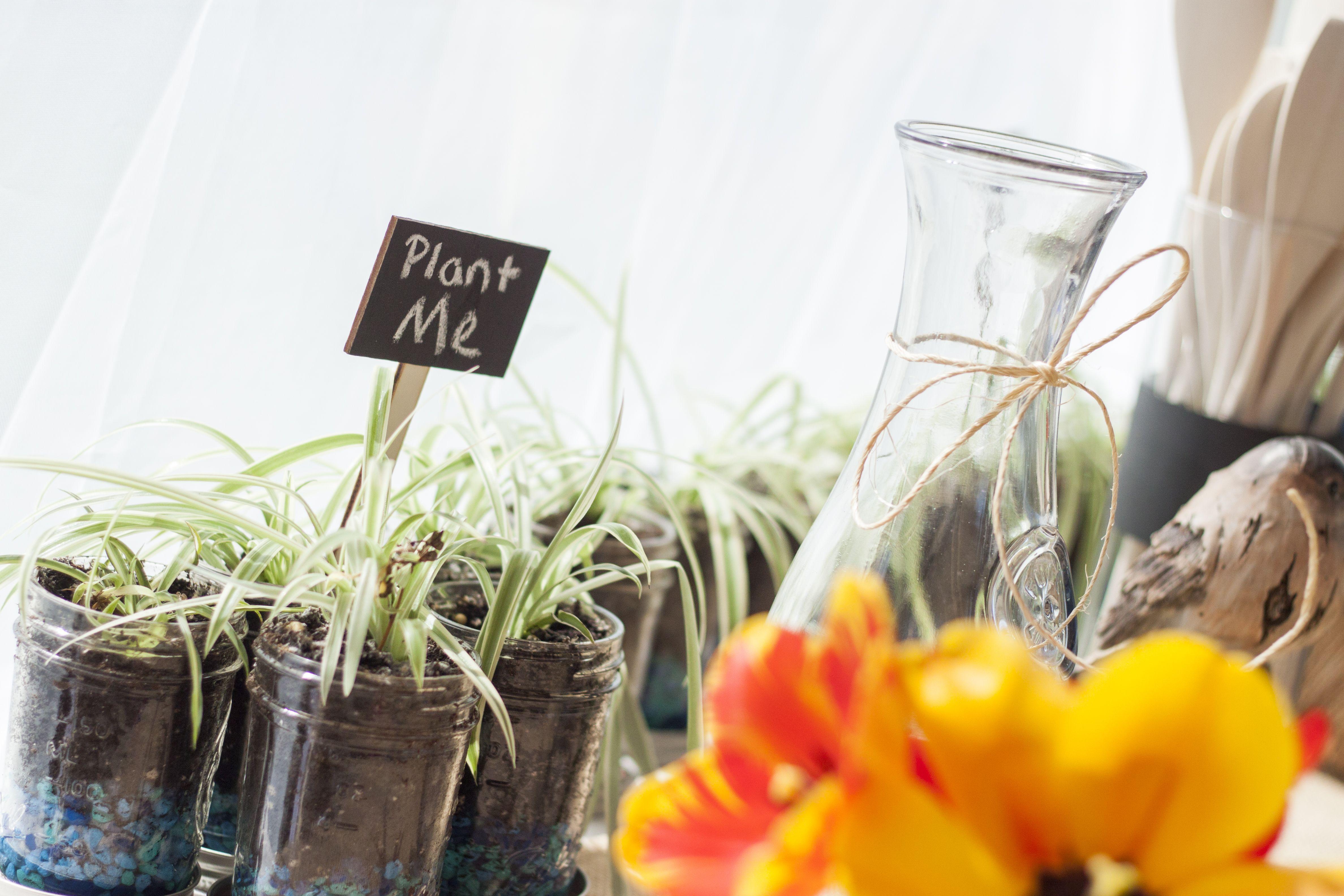 Spider-plant favors | Rustic Wedding | Pinterest | Spider plants ...