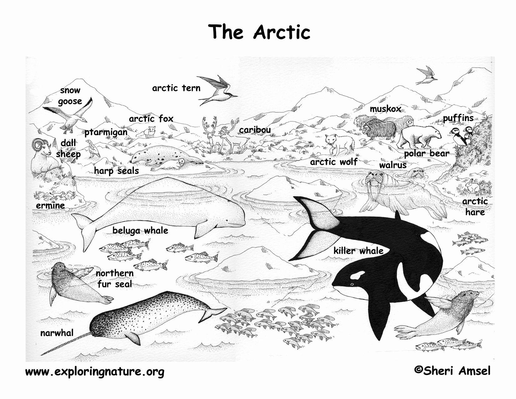Coloring Pages Hibernating Animals In 2020 Arctic Animals Arctic Habitat Artic Animals