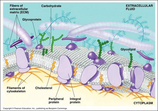 Membran Selstrutur Membran Sel Lengkap Dengan Keterangannya Membran Sel Biologi Sel Biologi