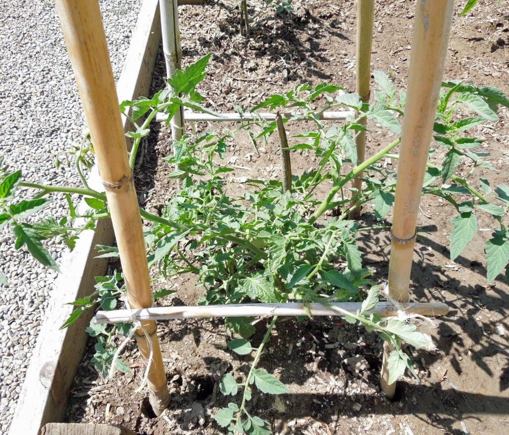 Bamboo Tomato Cage in 2020 Tomato cages, Perennial