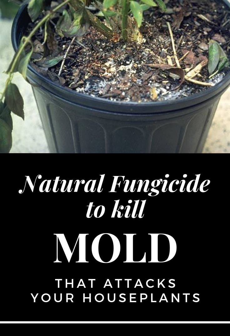 Natural Fungicide To Kill Mold That