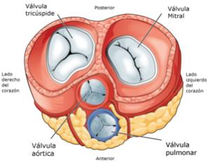 Partes Del Corazon Y Sus Funciones Estructura Arterias Venas En 2020 Arterias Del Cuerpo Valvulas Cardiacas Estomago Anatomia