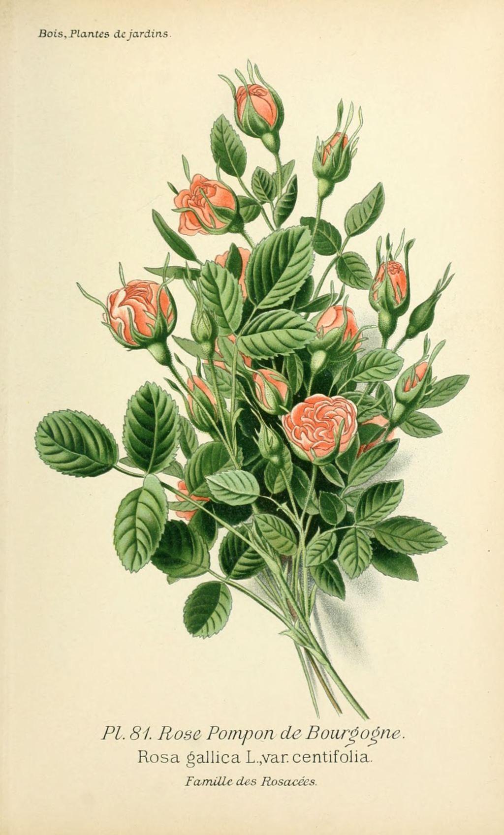 Img dessins plantes et fleurs jardins et appartements dessin de fleur de jardin 0165 rose pompon - Fleur rose dessin ...
