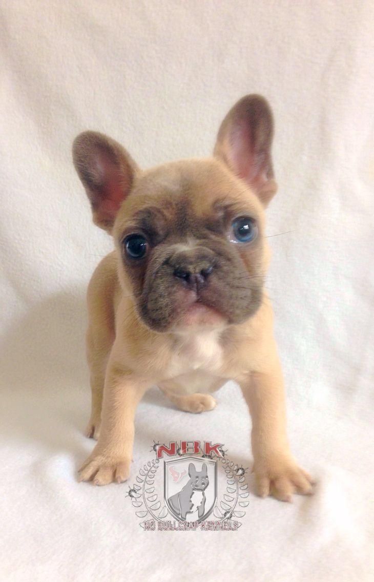 Blue Fawn French Bulldog Fawn French Bulldog Blue Fawn French Bulldog French Bulldog
