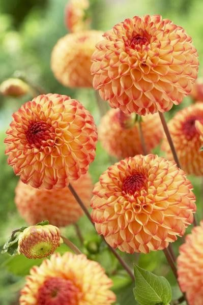 Dahlia Mirella Variety Flowers By Visionspictures Dahlias