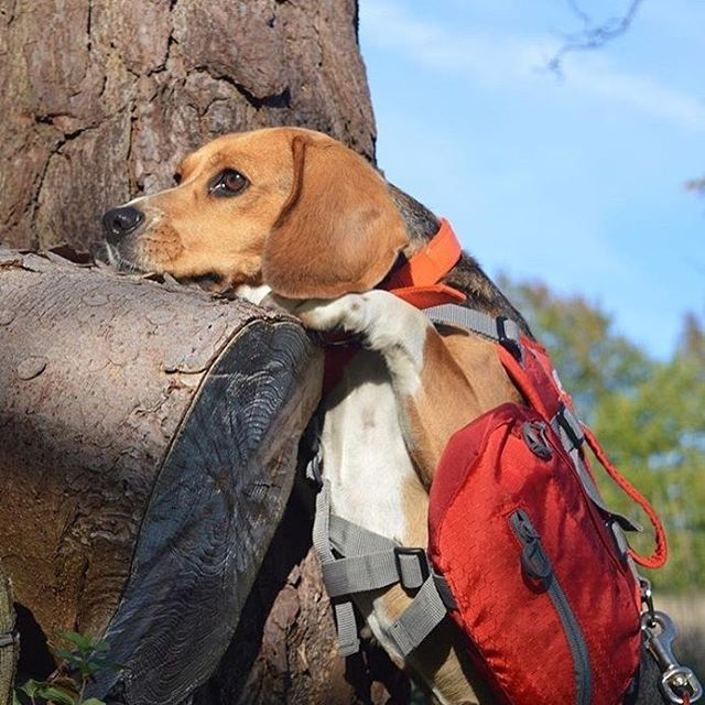 Beagle On A Hike Picture By Homer And Tilly With Images Dog